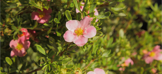 Potentilla_fruticosa__Lovely_Pink__R_.jpg